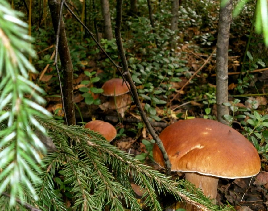 По грибы в Пушкинском районе (фото) - фото 1