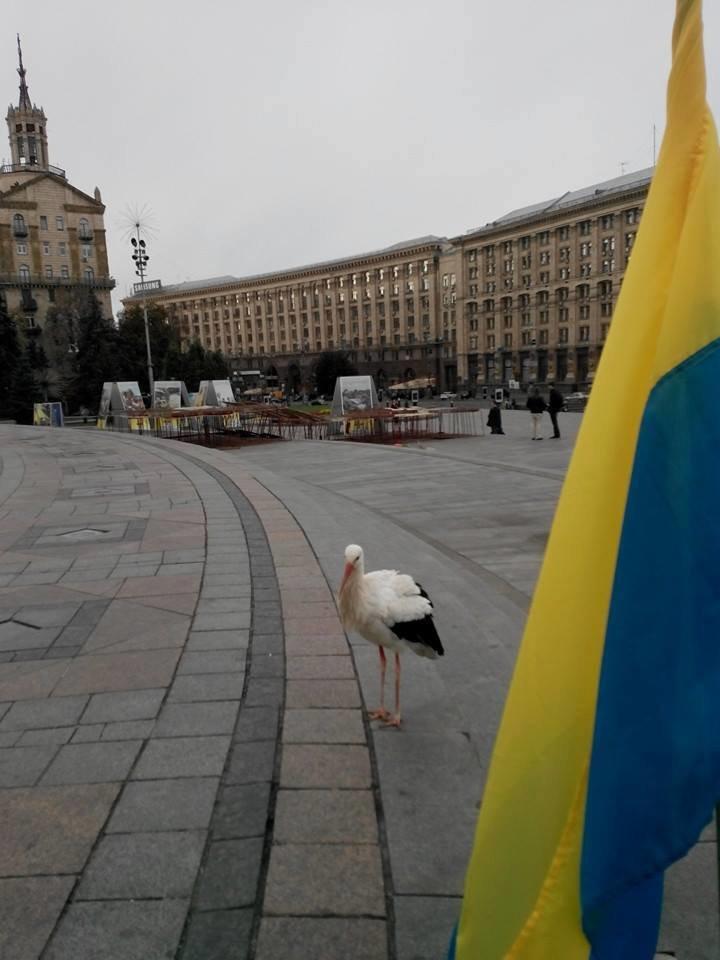 В Киеве по Крещатику гулял аист (ФОТОФАКТ) (фото) - фото 1