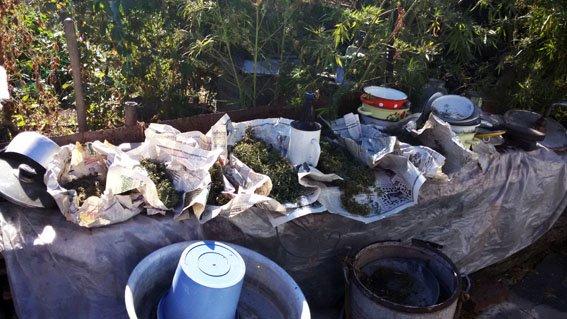 В Мариуполе выявлена крупная партия каннабиса и плантация конопли (ФОТО) (фото) - фото 1