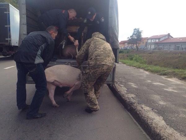 Курйоз дня: у Львові поліцейські ганялися за поросям (ФОТО) (фото) - фото 1