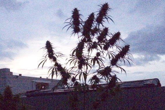 На Львівщині чоловік на власному подвір'ї вирощував коноплю (ФОТО) (фото) - фото 1
