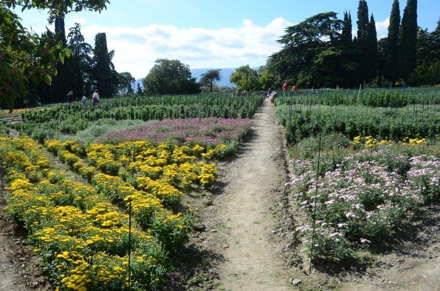 30000 цветов двухсот сортов увидят посетители Никитского сада на Балу хризантем в октябре-ноябре, фото-2