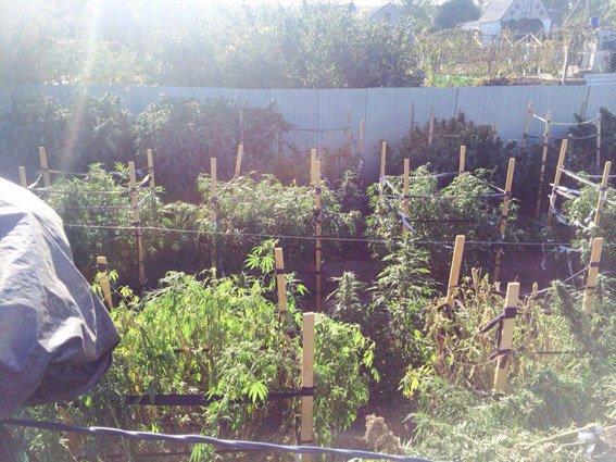 Хозяйственный николаевец вырастил на арендованном участке плантацию конопли (ФОТО) (фото) - фото 1