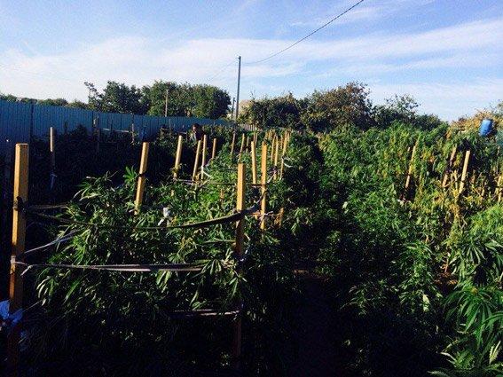 Хозяйственный николаевец вырастил на арендованном участке плантацию конопли (ФОТО) (фото) - фото 2