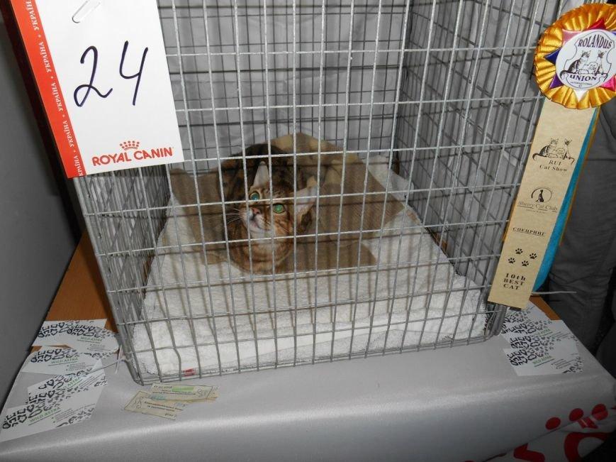 В Николаеве прошла международная выставка кошек (ФОТО) (фото) - фото 3