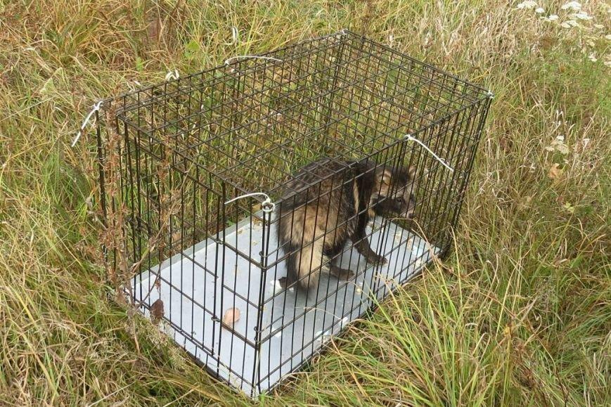 Белгородские зоозащитники выпустили на волю спасённую енотовидную собаку (фото) - фото 1