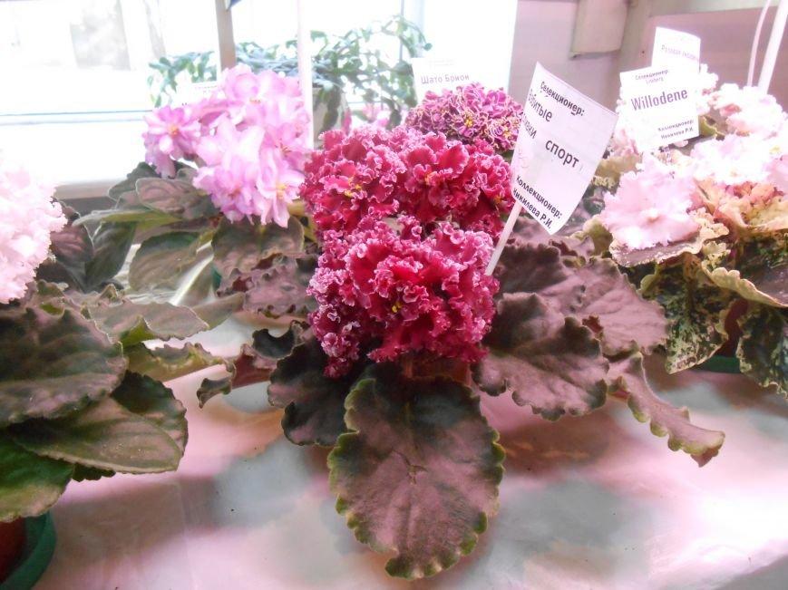 В Днепродзержинске открылась уникальныя выставка фиалок (фото) - фото 5