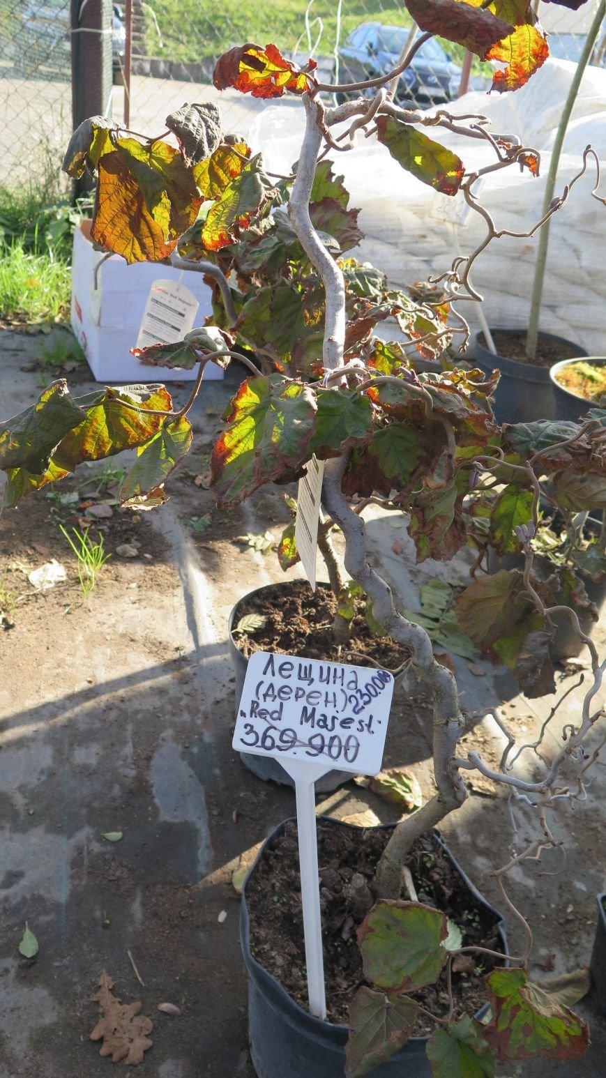 Осенняя распродажа ландшафтных растений в Новополоцке, фото-1
