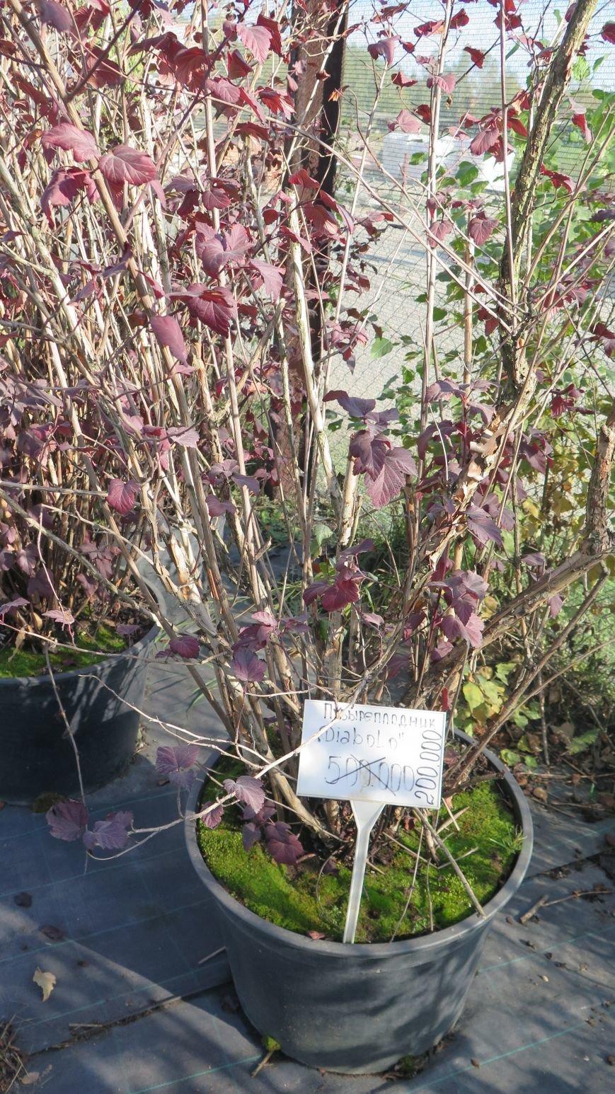 Осенняя распродажа ландшафтных растений в Новополоцке, фото-4
