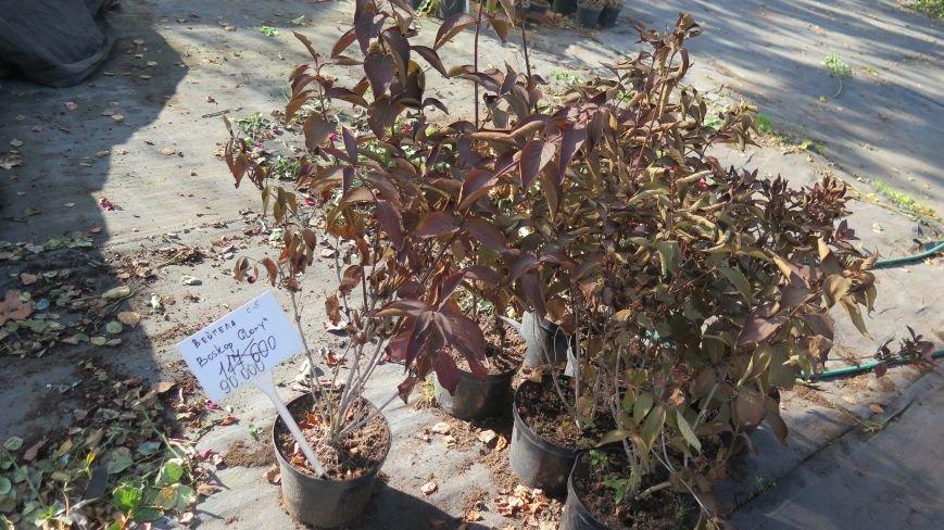 Осенняя распродажа ландшафтных растений в Новополоцке, фото-11