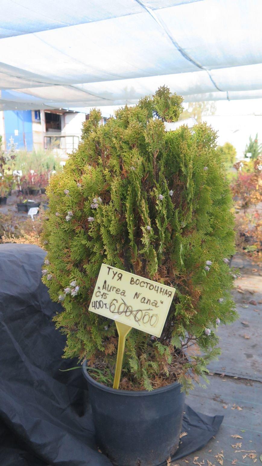 Осенняя распродажа ландшафтных растений в Новополоцке, фото-2