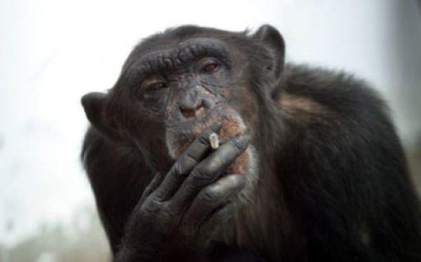 smoking_monkeys_19