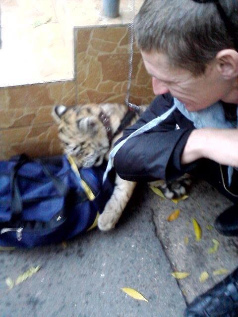 В центре Одессы выгуливают живого тигренка (ФОТО) (фото) - фото 1