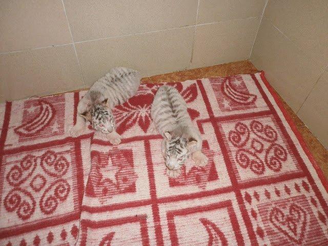 Как живут дети Тигрюли (фото) - фото 3