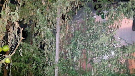 В Киеве пенсионер вырастил на огороде конопли на 3 млн грн (ФОТО) (фото) - фото 2