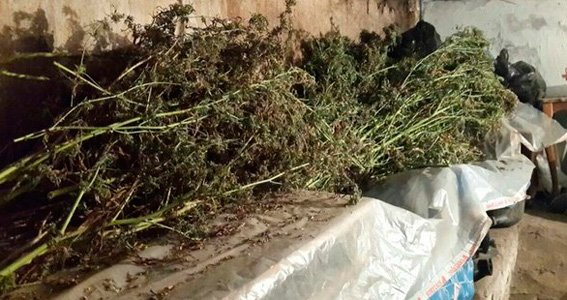 В Киеве пенсионер вырастил на огороде конопли на 3 млн грн (ФОТО) (фото) - фото 1