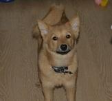 лиса-собака