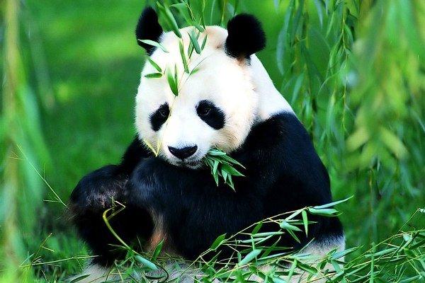 Bolshaya-panda01