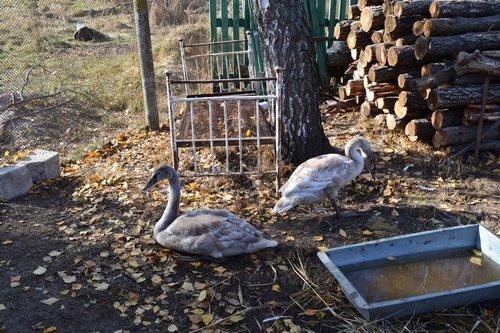 Жительница Житомирщины спасла лебедей, которые замерзали на пруду (фото) - фото 1