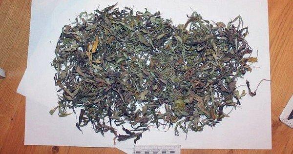 Под Гродно житель выращивал коноплю и готовил из нее марихуану (фото) - фото 1