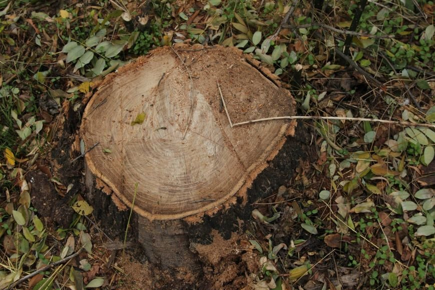 Расширение дороги? Вдоль одесской Трассы здоровья пять дней вырубывают деревья (ФОТО) (фото) - фото 1