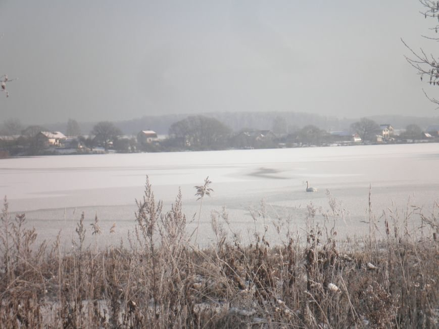 В новой Москве сотрудники МЧС попытались спасти белого лебедя, но птица неожиданно улетела (ФОТО) (фото) - фото 1
