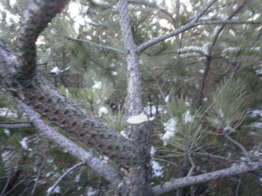 В Краматорском ландшафтном парке уничтожают молодые сосны (ФОТО), фото-7