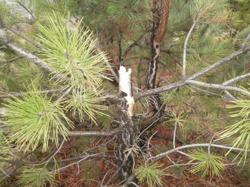 В Краматорском ландшафтном парке уничтожают молодые сосны (ФОТО), фото-1