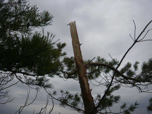 В Краматорском ландшафтном парке уничтожают молодые сосны (ФОТО), фото-9