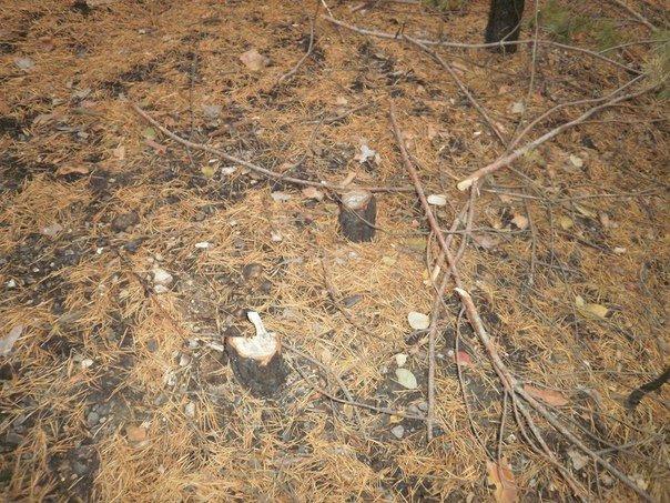 В Краматорском ландшафтном парке уничтожают молодые сосны (ФОТО), фото-10