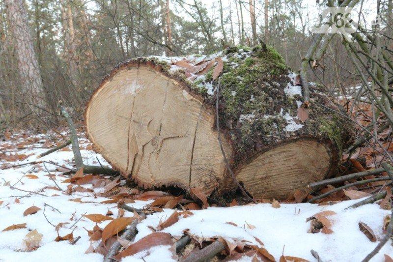 В урочище «Святое» массово уничтожают деревья, фото-2