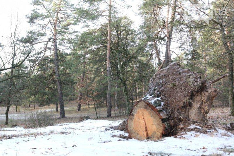В урочище «Святое» массово уничтожают деревья, фото-3