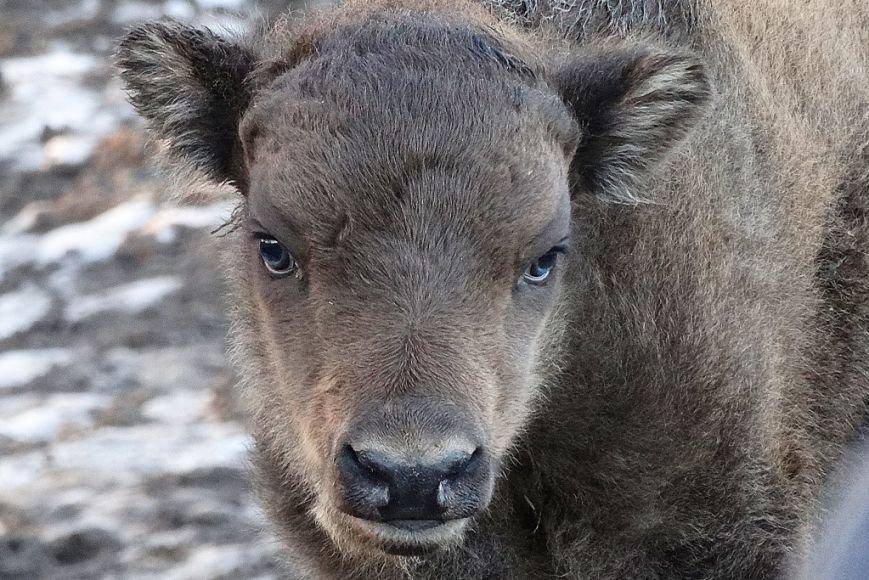 В старооскольском зоопарке родился зубрёнок (фото) - фото 1