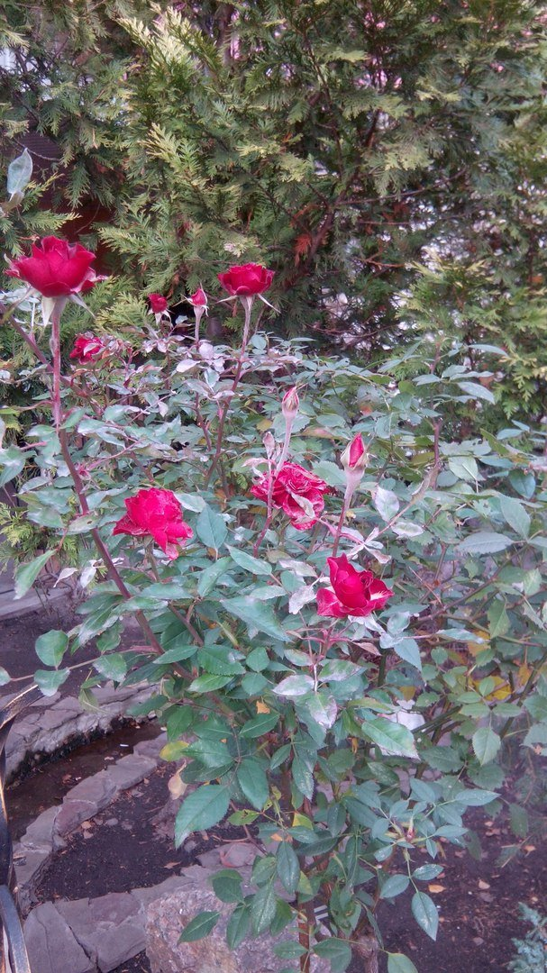 В Одессе в декабре цветут розы (ФОТО) (фото) - фото 1