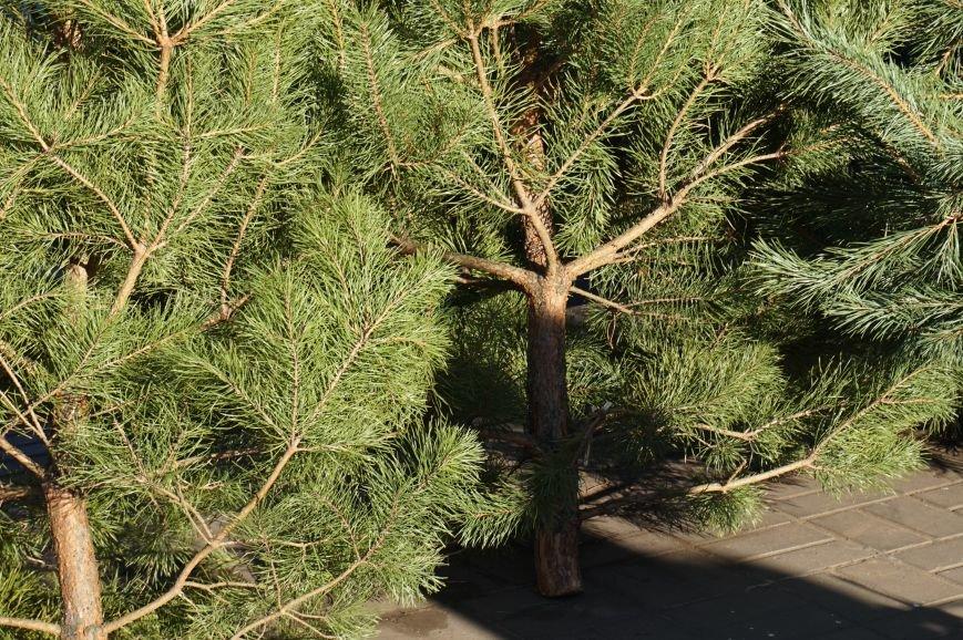 Во сколько криворожанам обойдутся Сосны кримские из Житомирского лесохозяйства (ФОТО) (фото) - фото 4