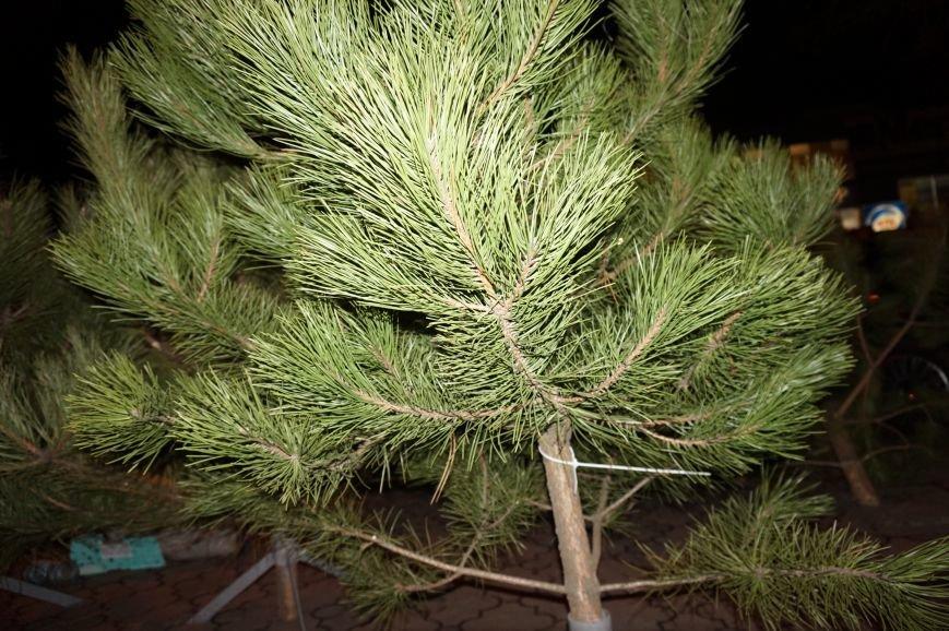 Во сколько криворожанам обойдутся Сосны кримские из Житомирского лесохозяйства (ФОТО) (фото) - фото 2