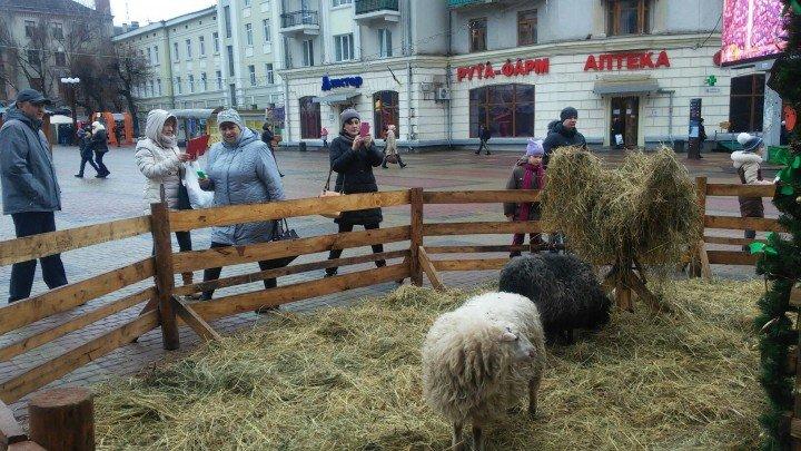 В центрі Тернополі на Театральному майдані «поселили» живих овець (фото) (фото) - фото 1