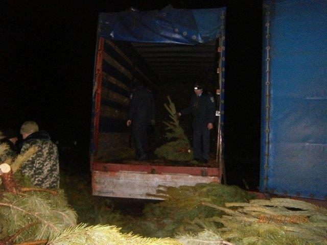Браконьеры рубят сосны прямо на черниговской границе (фото) - фото 1
