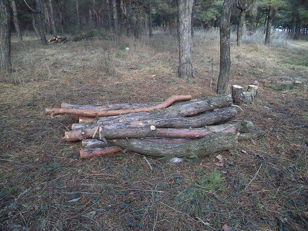В Макеевке рубят сосны, местные жители говорят: незаконно! (фото) - фото 1