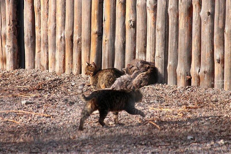 В Одесском зоопарке кошки воруют еду у тигров (ФОТО) (фото) - фото 1
