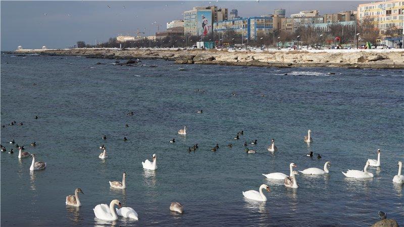 Лебеди прилетели в Актау! (фото) - фото 1