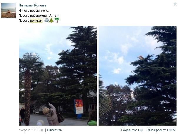 ФОТОФАКТ: на набережной в Ялте поселился пеликан (фото) - фото 2