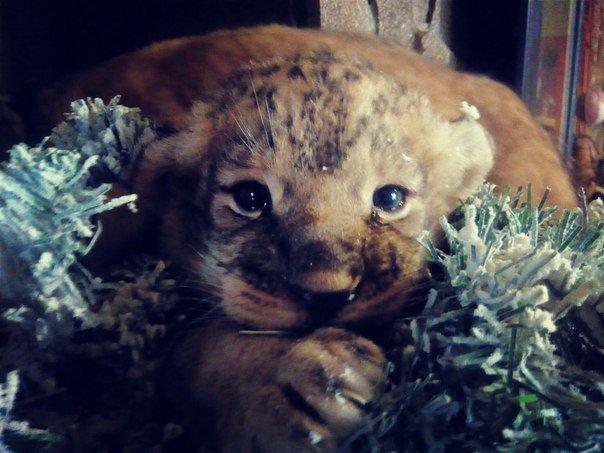 В Запорожской области родились два львенка, - ФОТО (фото) - фото 1