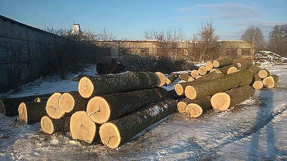 Дубовый лесок в Черниговской области уничтожили два сельских жителя (фото) - фото 1