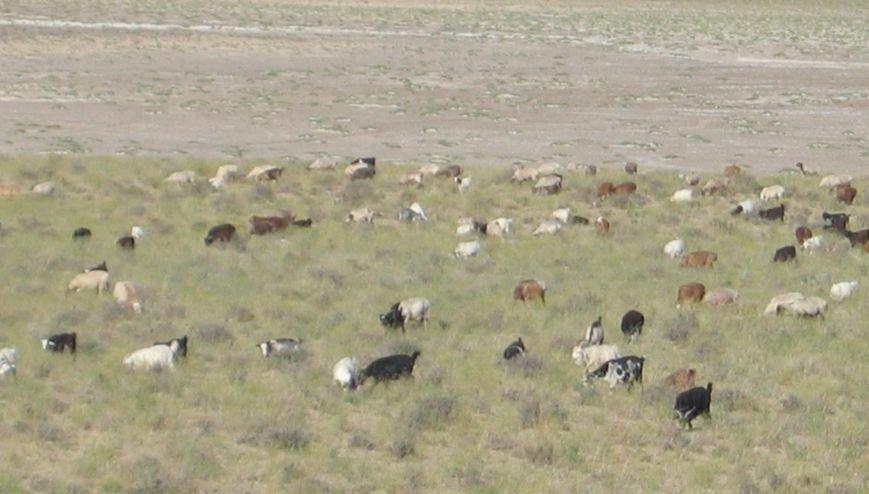 козы и бараны
