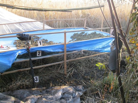 На Сумщине житель приграничья выращивал коноплю и продавал россиянам (ФОТО) (фото) - фото 1