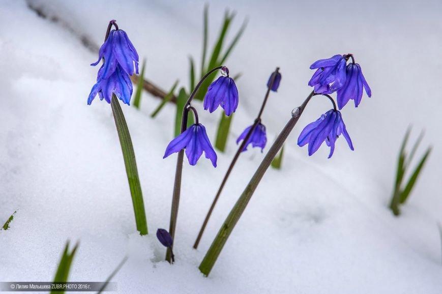 Первоцветы Адыгеи нуждаются в защите (фото) - фото 1