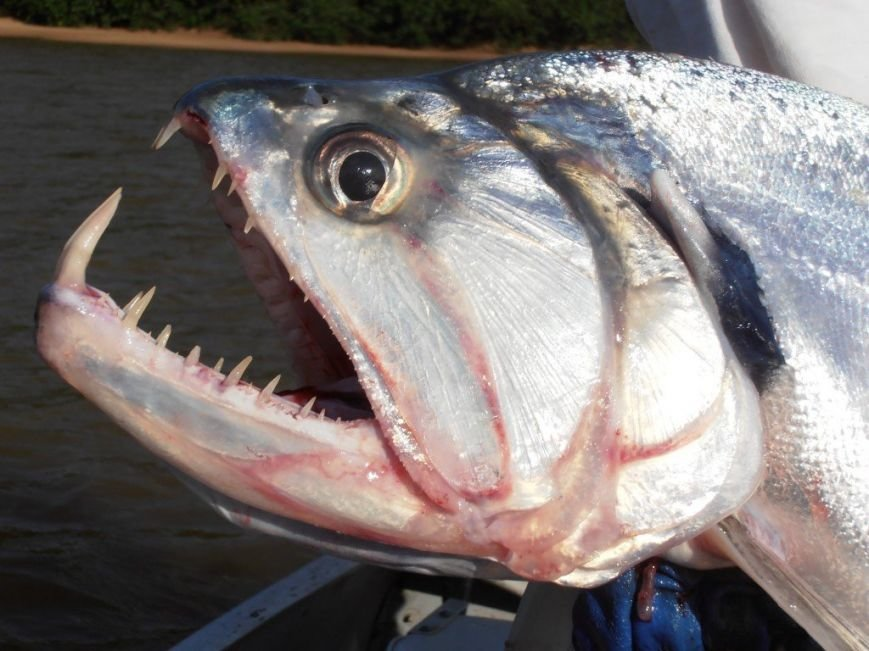 10 малоизвестных рыб-убийц (фото) - фото 3