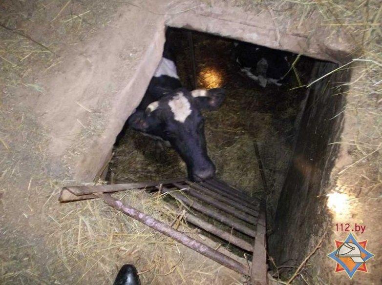 В Орше сотрудники МЧС спасли корову и теленка, провалившихся в погреб (фото) - фото 1
