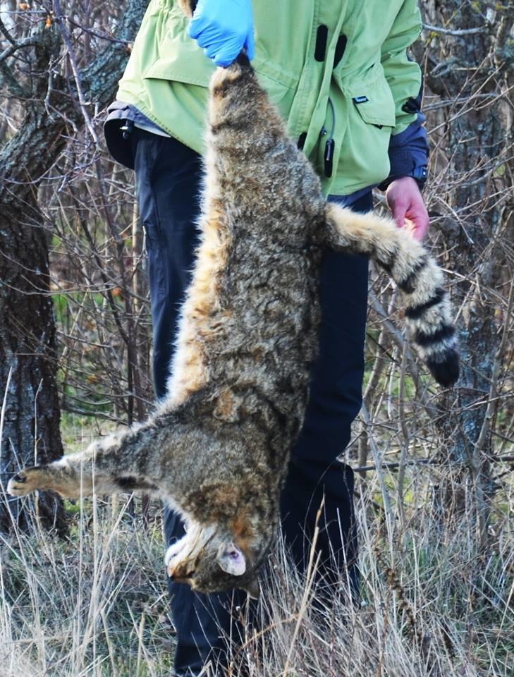 В одесском заповеднике охотники убили краснокнижного лесного кота (ФОТО) (фото) - фото 1